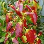 new foliage on Cinnamon, Cinnamomum verum