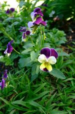 Pansy, Viola tricolor 'Johnny Jump Up'