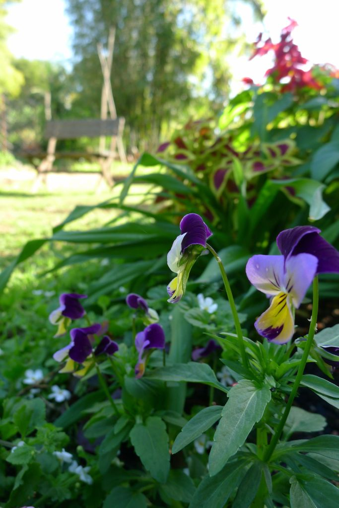 Heartsease, or Johnny Jump Up (Viola tricolor)