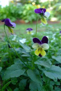 Heartsease, or Johnny Jump Up (Viola tricolor)