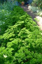 parsley Petroselenium crispum 'Triple Curled'