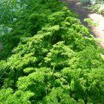 parsley Petroselenium crispum 'Triple Curled'