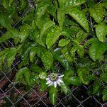 Passionfruit, Passiflora edulis
