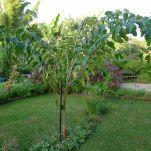 Pollarded King's Mulberry, Morus alba 'White Shahtoot'