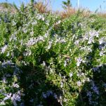 Prostrate rosemary, Rosmarinus officinalis