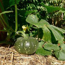 Pumpkin, Cucurbita moschata 'Jap' aka 'Japanese', or 'Kabocha'