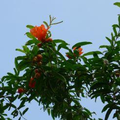pomegranate, Punica granatum