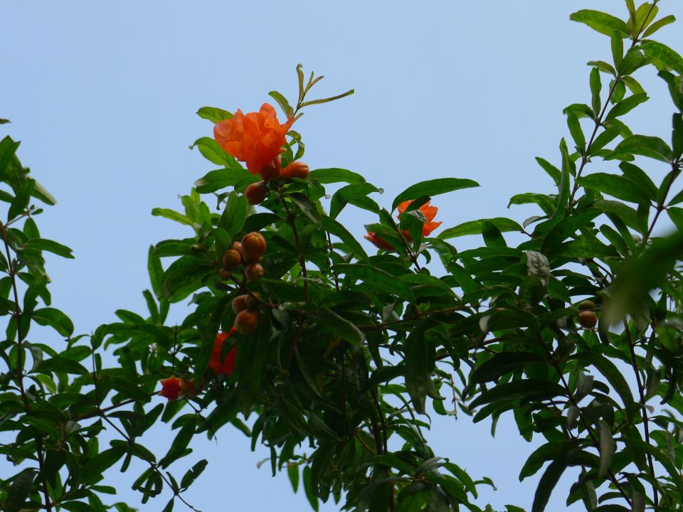 pomegranate, Punica granatum