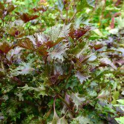 Purple Perilla aka shiso, Perilla frutescens var. crispa f. purpurea