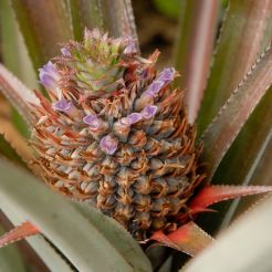 Queen or rough pineapple Ananas comosus