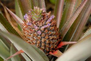 Queen or rough pineapple Ananas comosus