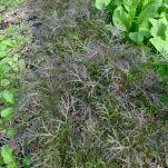 Purple mizuna, Brassica juncea var. japonica