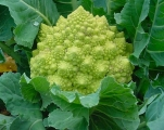 Romanesco broccoli (not grown at Bellis)