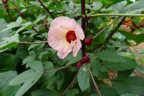 Peasant food: Rosella, Hibiscus sabdariffa