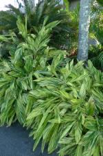 Shell ginger, Alpinia zerumbet 'Variegata' (not grown at Bellis)