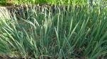 spring onions, Allium fistulosum