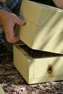 Hive split/ Stingless bee, Tetragonula carbonaria