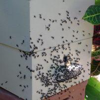 Stingless bee, Tetragonula carbonaria