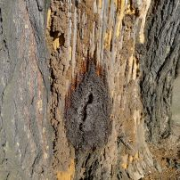 Stingless bee hive in Bribie Island pine, Callitris columellaris