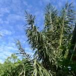 Sugar palm, Arenga pinnata
