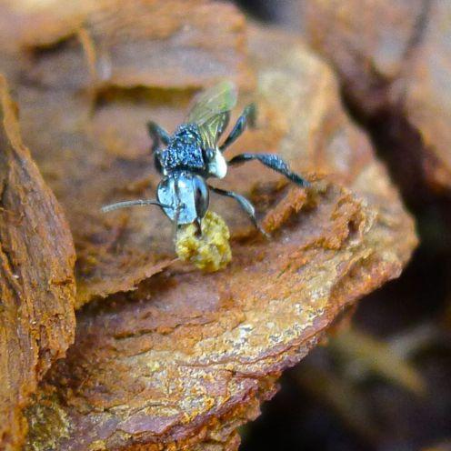 Stingless bee on housekeeping duty