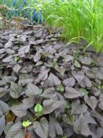 Sweetpotato, Ipomoea batatas 'Ace of Spades'