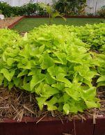 Sweetpotato, Ipomoea batatas 'Marguerite'