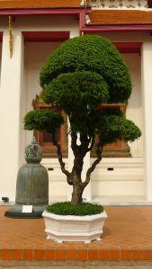 Tamarind, Tamarindus indica (not grown at Bellis)