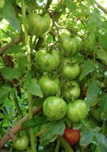Cherry tomato Green Zebra