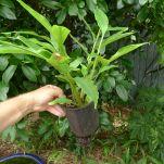 True cardamom, Elettaria cardamomum, 1 year seedling