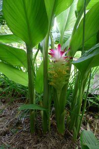Turmeric, Curcuma longa