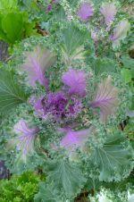 Variegated kale, Brassica oleracea Acephala group