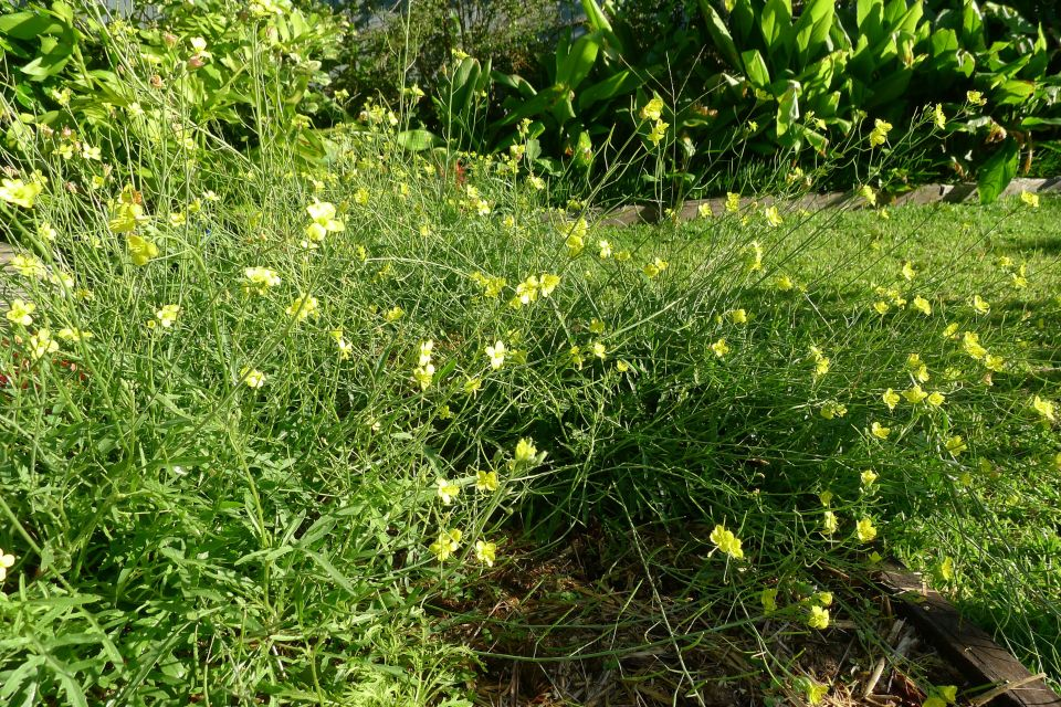 Wild, or wall rocket, Diplotaxis tenuifolia