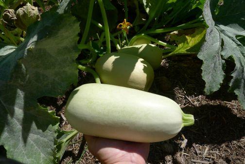 Zucchini, Cucurbita pepo 'Lebanese'. Sown 13.2.14, weighs 1.14kg