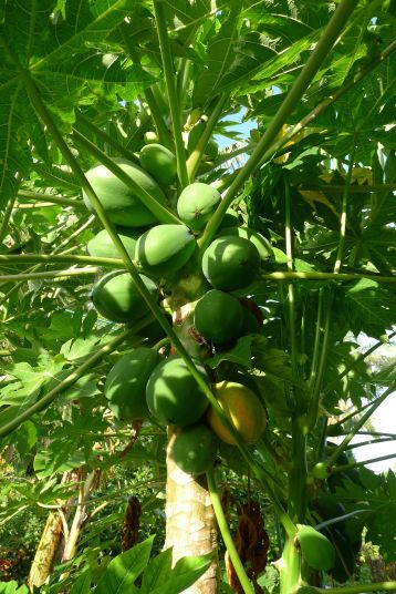 Pawpaw, Carica papaya 'Southern Red'