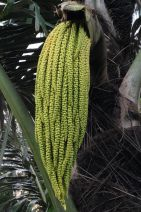 Sugar palm flower, Arenga pinnata