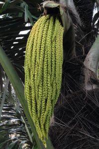 Sugar palm flower, Arenga pinnata