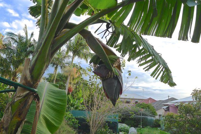 Flowering banana 'Pisang Ceylan'