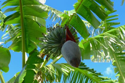 banana Java Blue