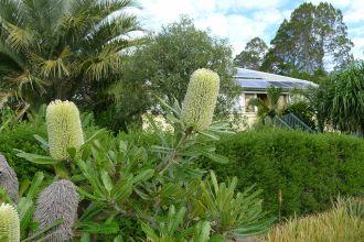 Banksia aemula