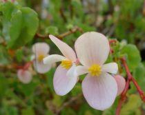 Begonia cubensis