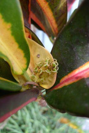 Croton, Codiaeum variegatum 'Gloriosa' male flowers