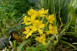 Crucifix orchid, Epidendrum