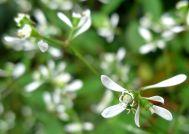 Euphorbia Diamond Ice