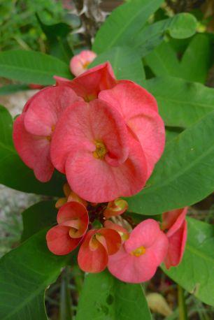 Euphorbia splendens 'Lipstick'