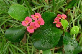 Euphorbia splendens