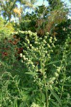 Huauzontle, Chenopodium berlandieri
