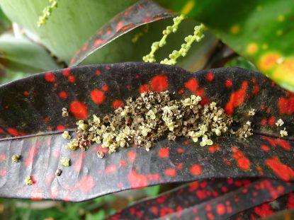 Hyophorbe lagenicaulis flowers on croton