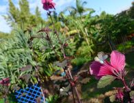male zebra blue butterfly, Leptotes plinius, visits Hibiscus acetosella
