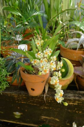sweetly scented Oncidium 'Twinkle CT White Strong'